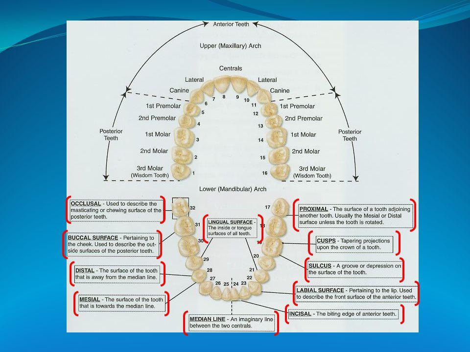 Felső- és alsó fogív