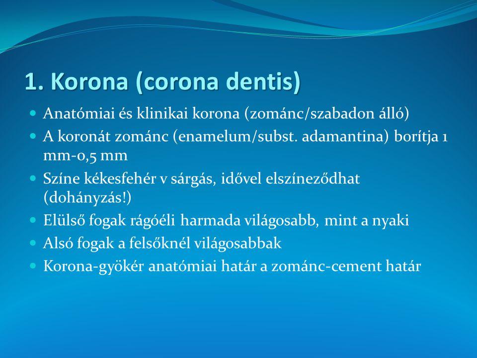 1. Korona (corona dentis)