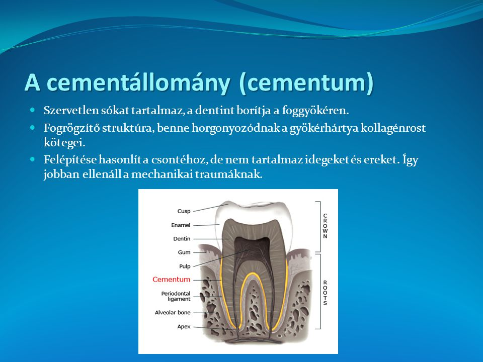 A cementállomány (cementum)