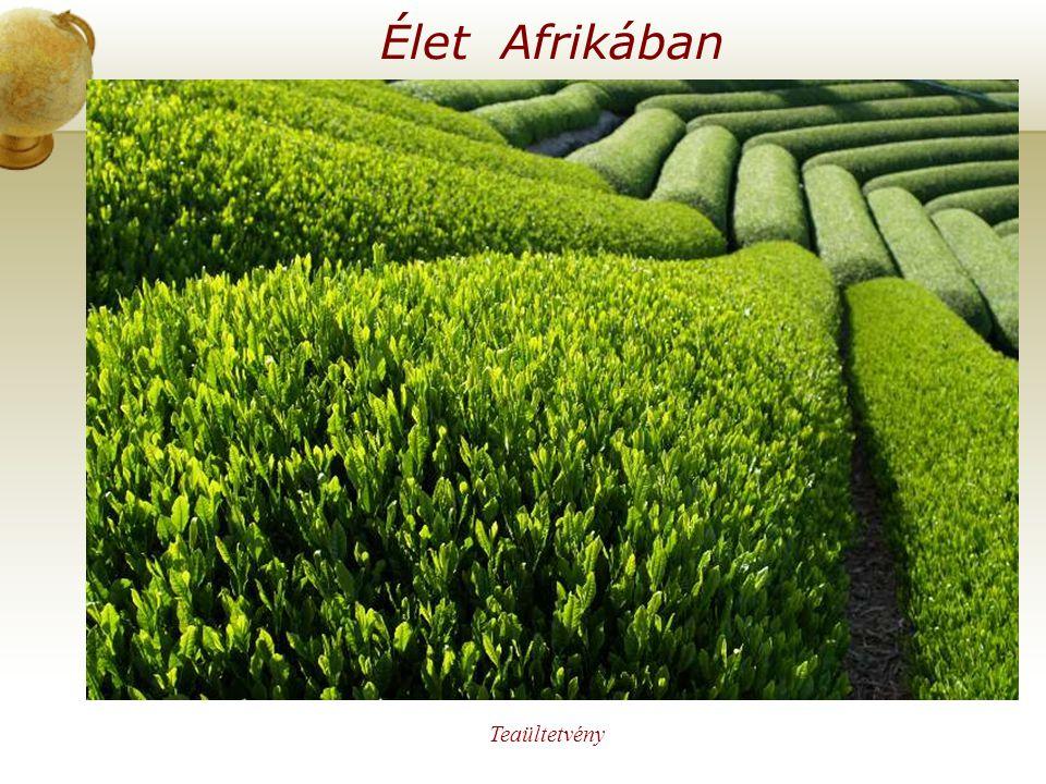 Élet Afrikában Illesszen be egy térképet az országról. Teaültetvény