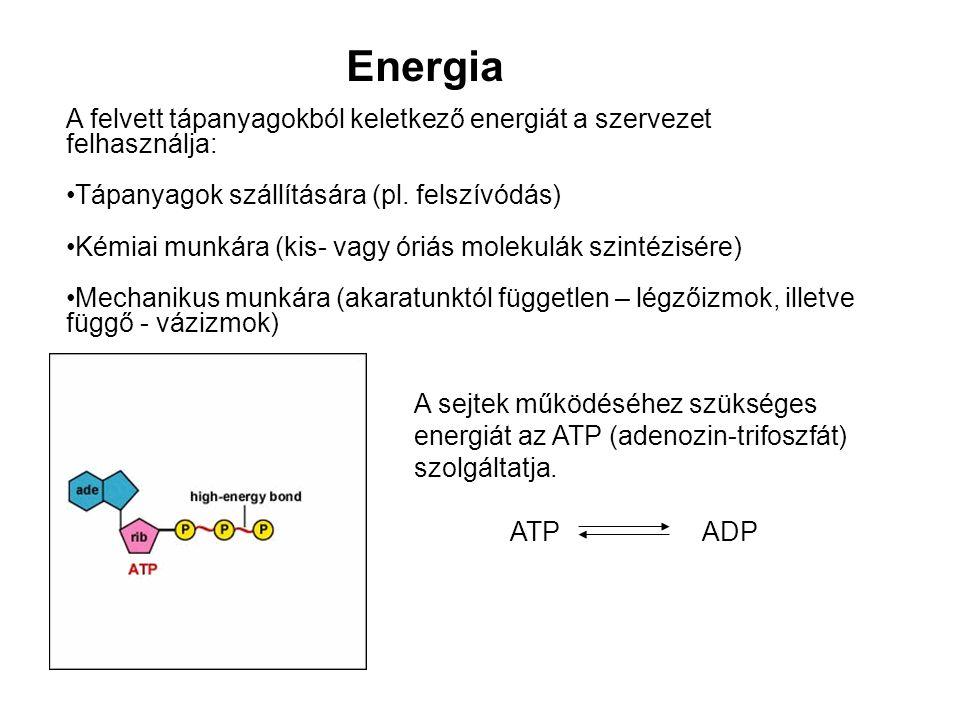 Energia A felvett tápanyagokból keletkező energiát a szervezet felhasználja: Tápanyagok szállítására (pl. felszívódás)