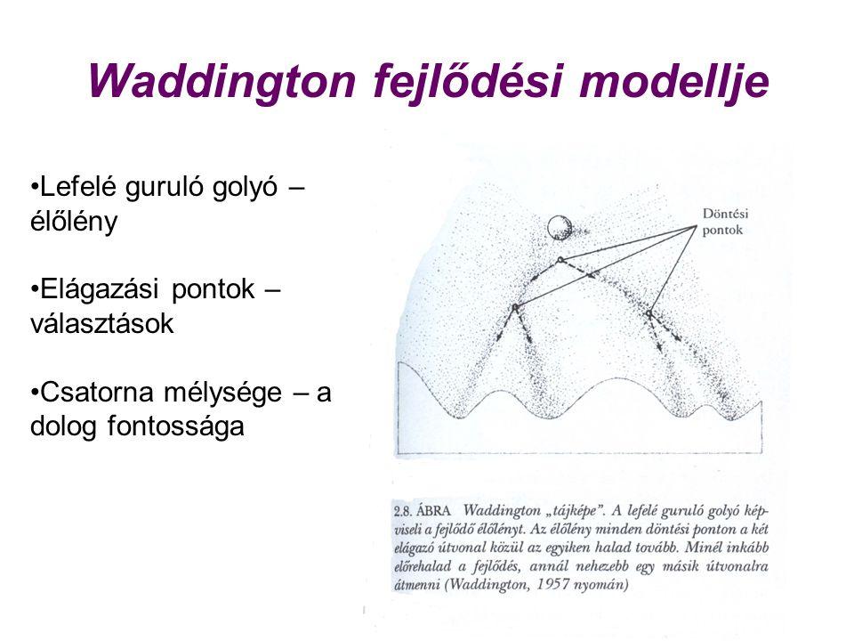 Waddington fejlődési modellje