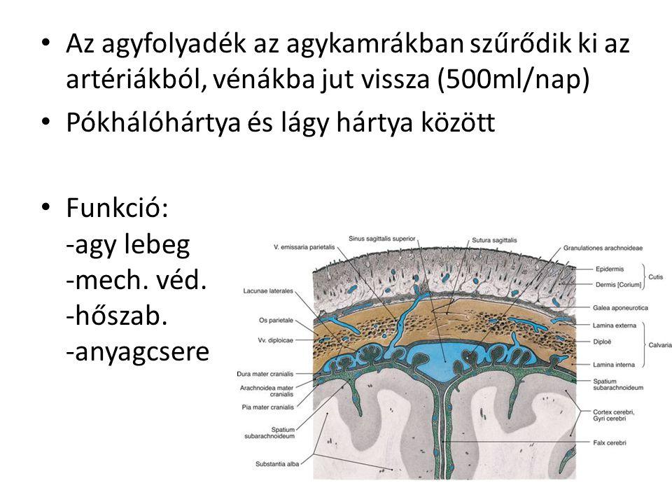 Az agyfolyadék az agykamrákban szűrődik ki az artériákból, vénákba jut vissza (500ml/nap)