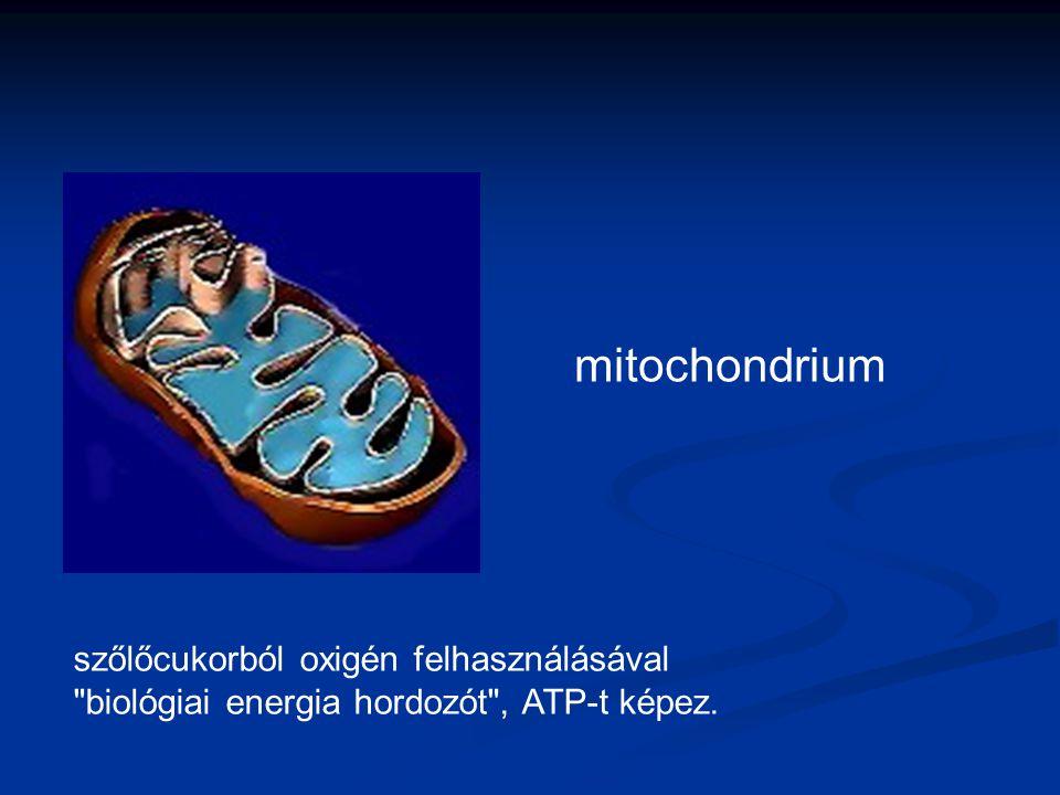 mitochondrium szőlőcukorból oxigén felhasználásával