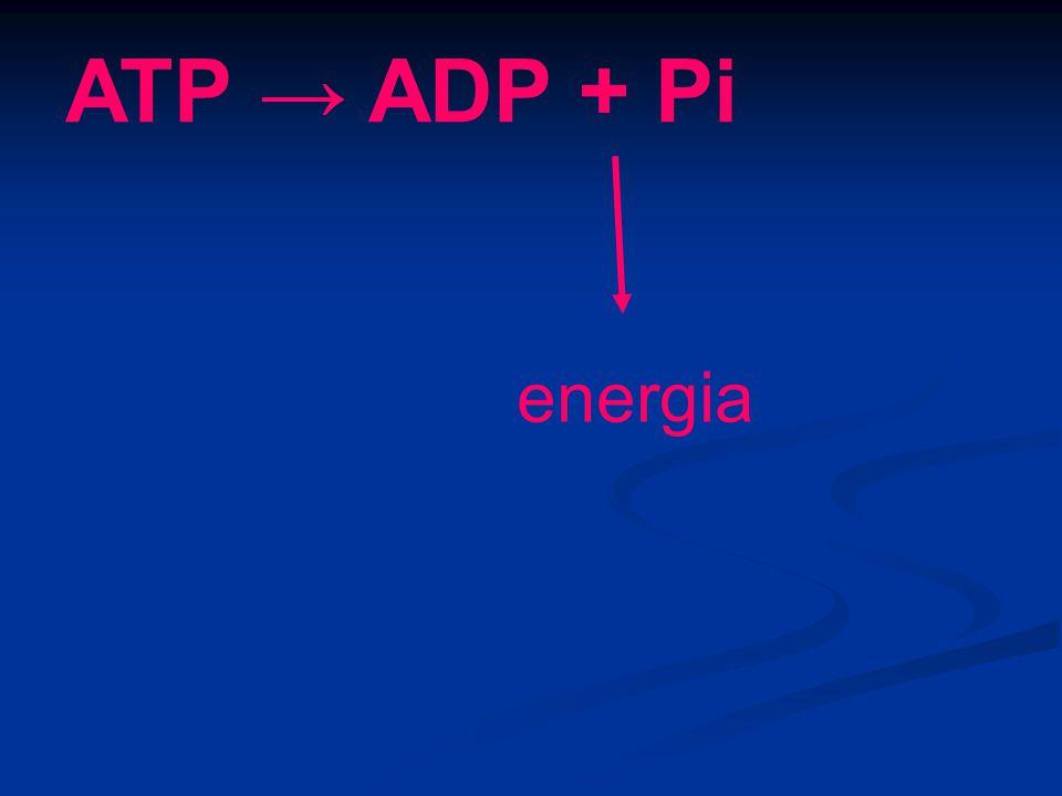 ATP → ADP + Pi energia