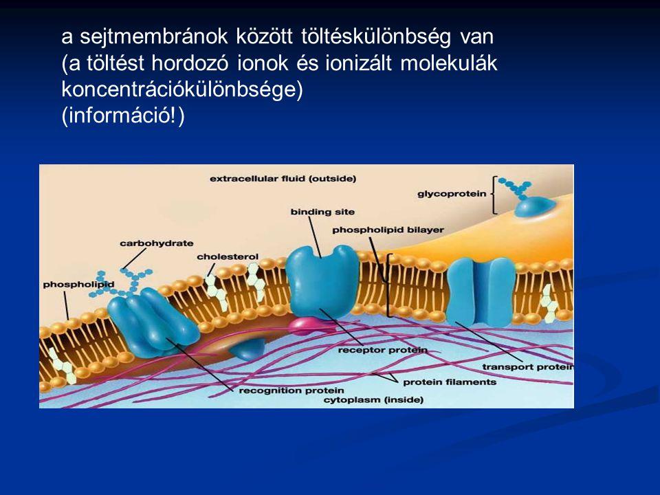 a sejtmembránok között töltéskülönbség van