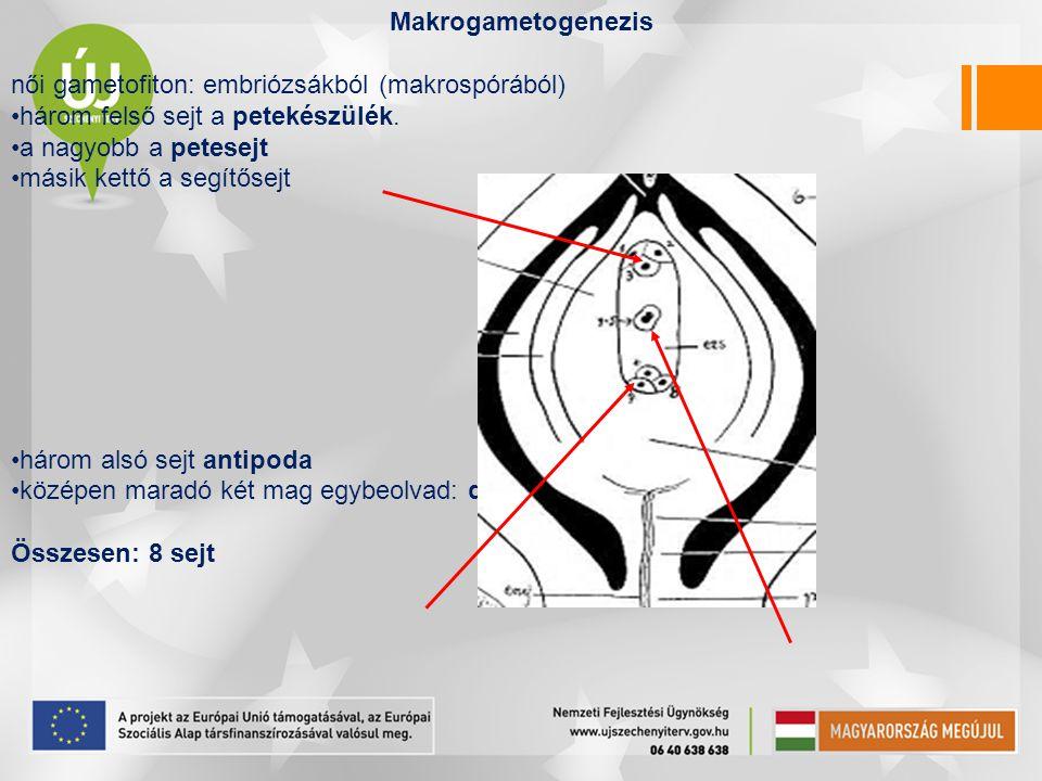Makrogametogenezis női gametofiton: embriózsákból (makrospórából) három felső sejt a petekészülék.