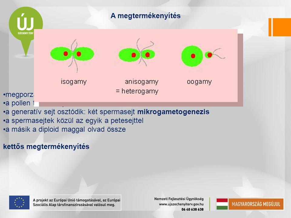 A megtermékenyítés megporzást követi. a pollen tömlőt hajt. a generatív sejt osztódik: két spermasejt mikrogametogenezis.