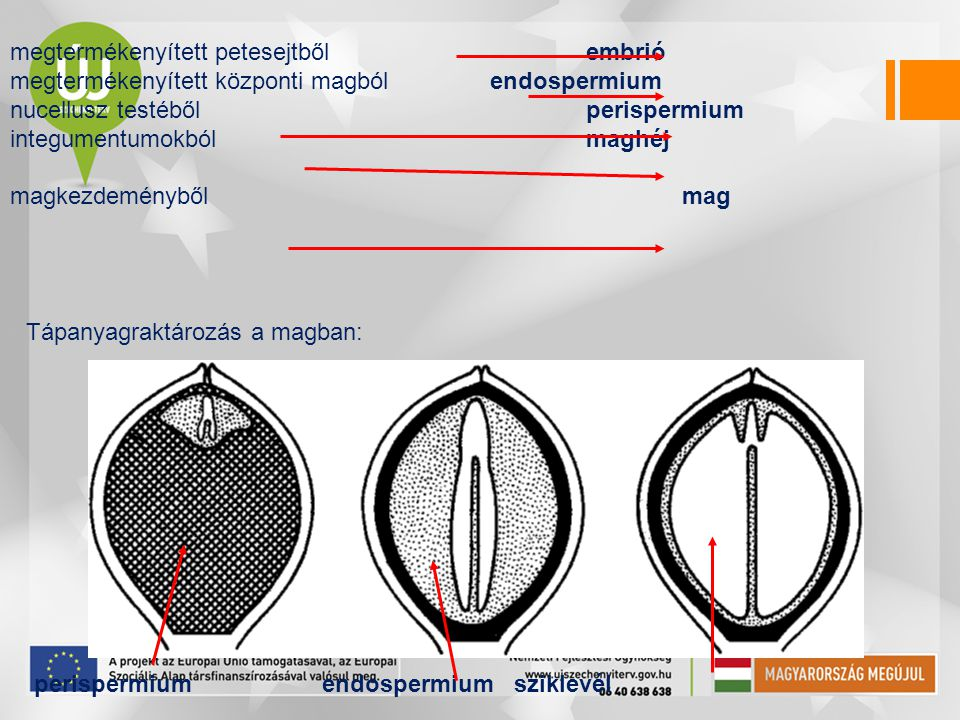 megtermékenyített petesejtből embrió