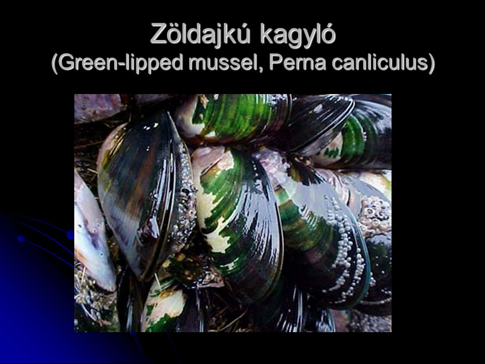 Zöldajkú kagyló (Green-lipped mussel, Perna canliculus)
