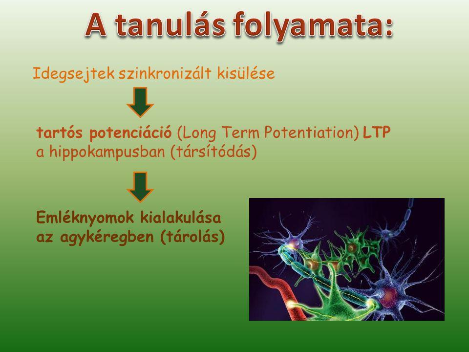 A tanulás folyamata: Idegsejtek szinkronizált kisülése
