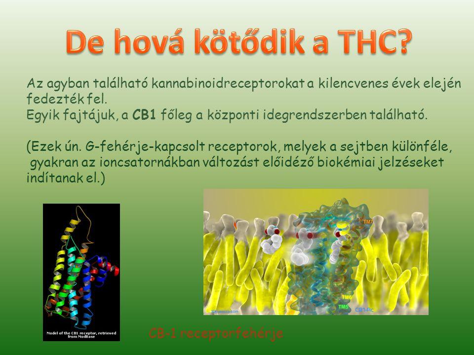 De hová kötődik a THC Az agyban található kannabinoidreceptorokat a kilencvenes évek elején. fedezték fel.