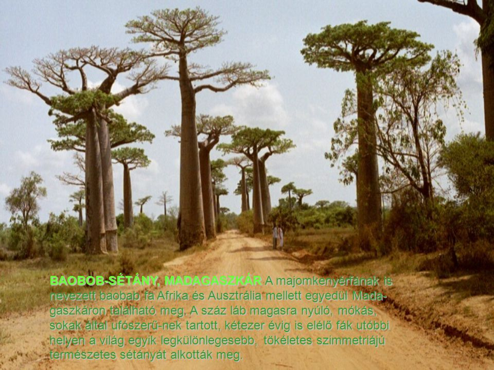 BAOBOB-SÉTÁNY, MADAGASZKÁR A majomkenyérfának is nevezett baobab fa Afrika és Ausztrália mellett egyedül Mada-gaszkáron található meg.