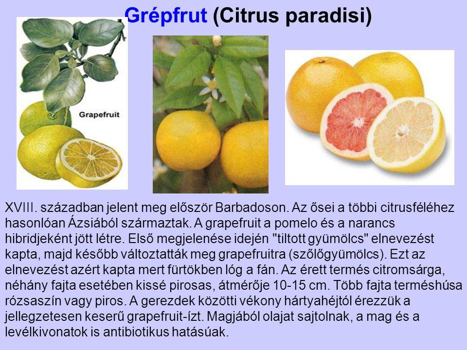 Grépfrut (Citrus paradisi)