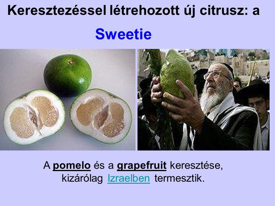 Keresztezéssel létrehozott új citrusz: a