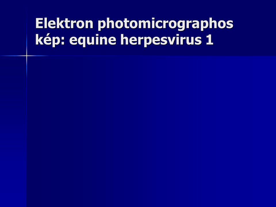 Elektron photomicrographos kép: equine herpesvirus 1