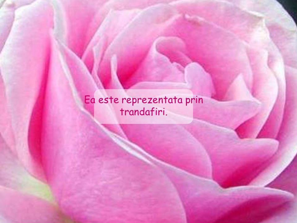 Ea este reprezentata prin trandafiri.