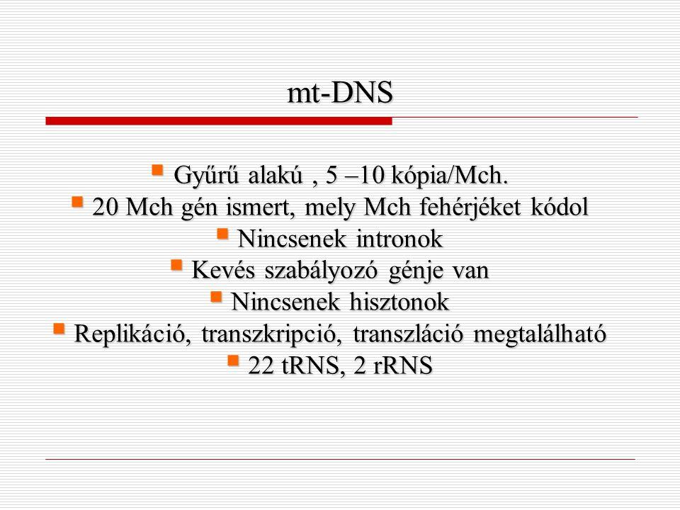 mt-DNS Gyűrű alakú , 5 –10 kópia/Mch.