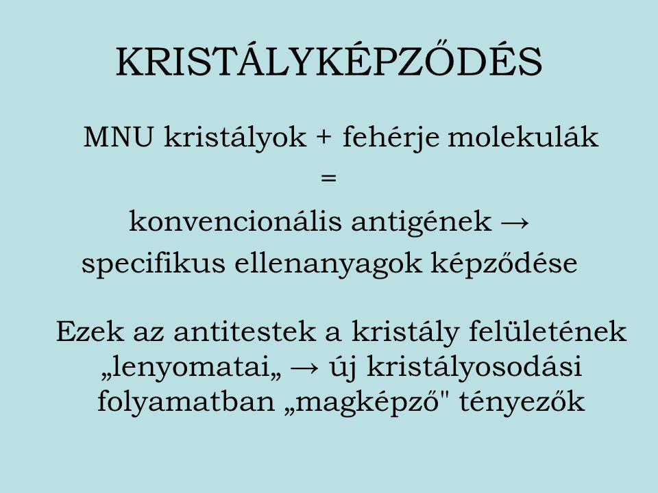 KRISTÁLYKÉPZŐDÉS MNU kristályok + fehérje molekulák =