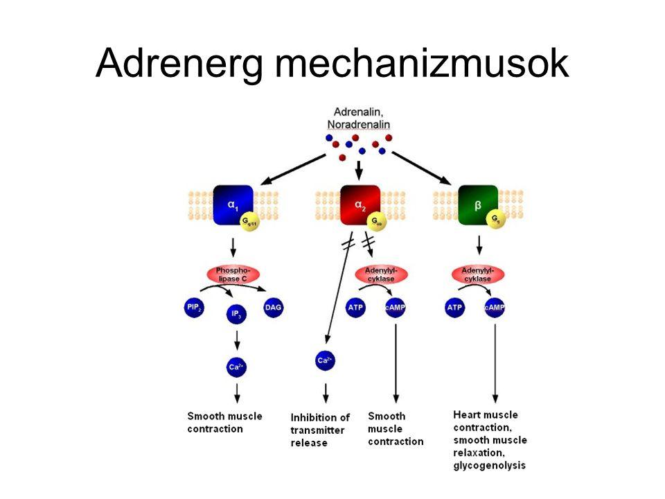 Adrenerg mechanizmusok