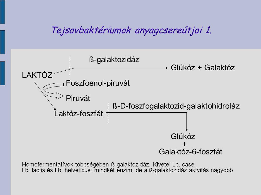 Tejsavbaktériumok anyagcsereútjai 1.