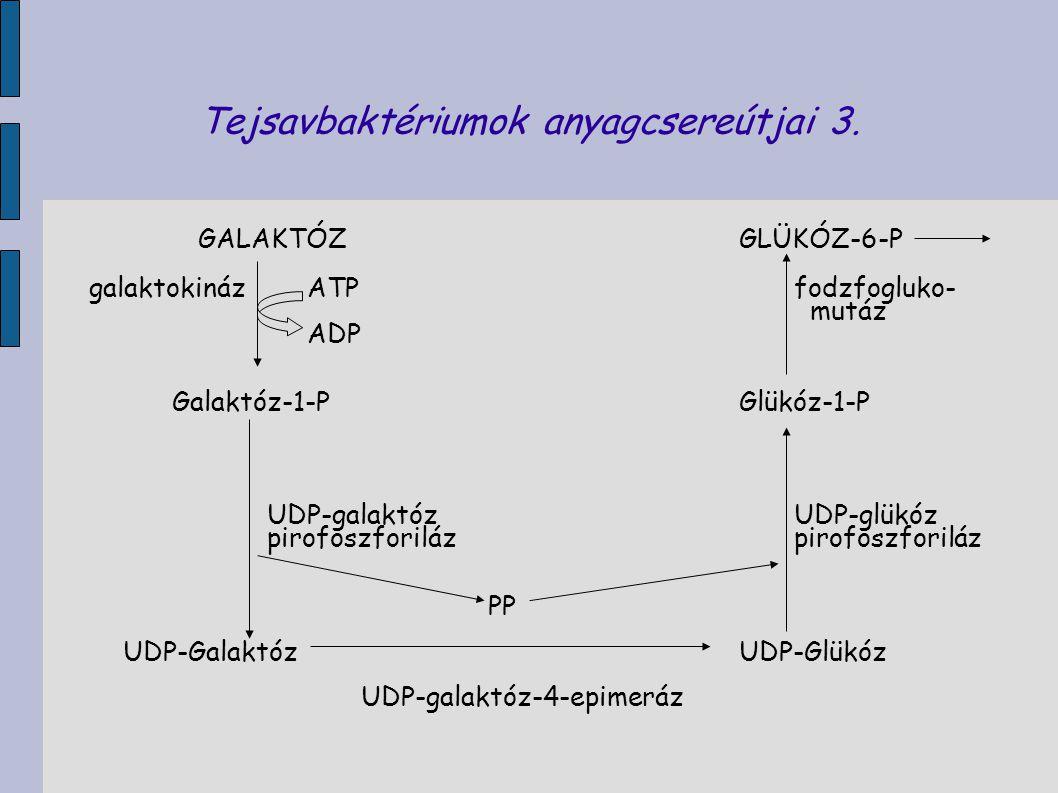 Tejsavbaktériumok anyagcsereútjai 3.