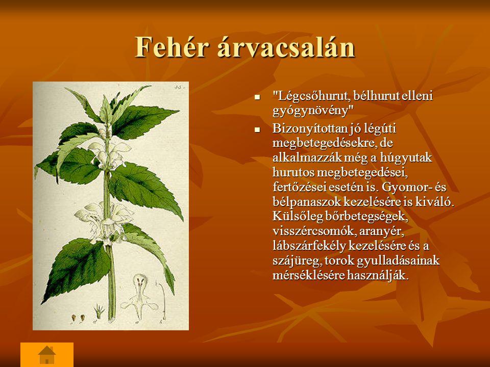 Fehér árvacsalán Légcsőhurut, bélhurut elleni gyógynövény