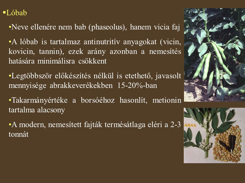 Lóbab Neve ellenére nem bab (phaseolus), hanem vicia faj.