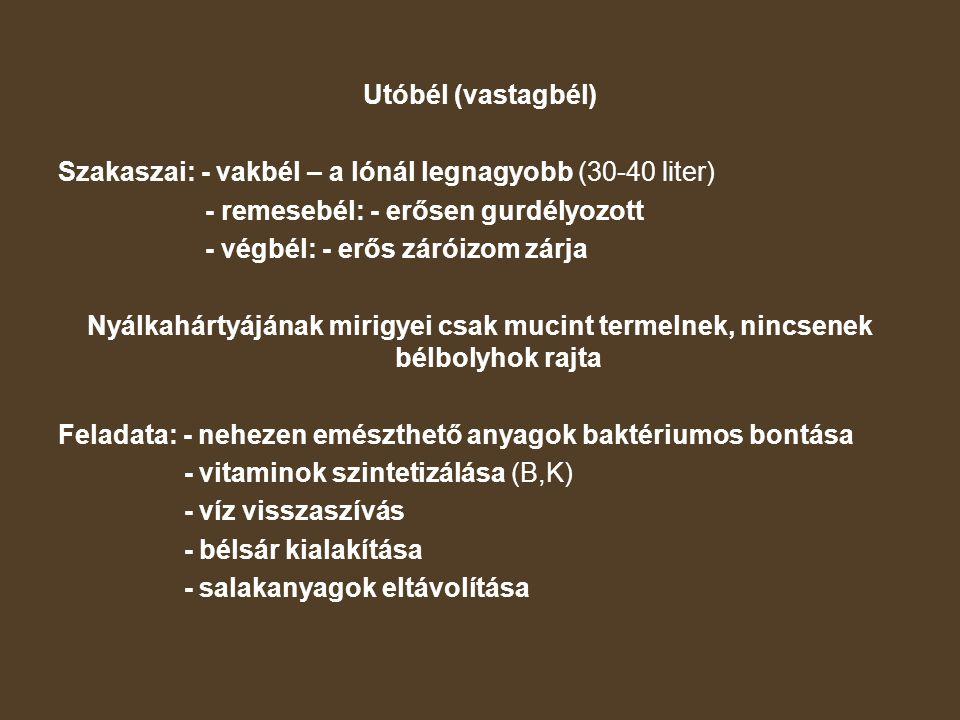 Utóbél (vastagbél) Szakaszai: - vakbél – a lónál legnagyobb (30-40 liter) - remesebél: - erősen gurdélyozott.