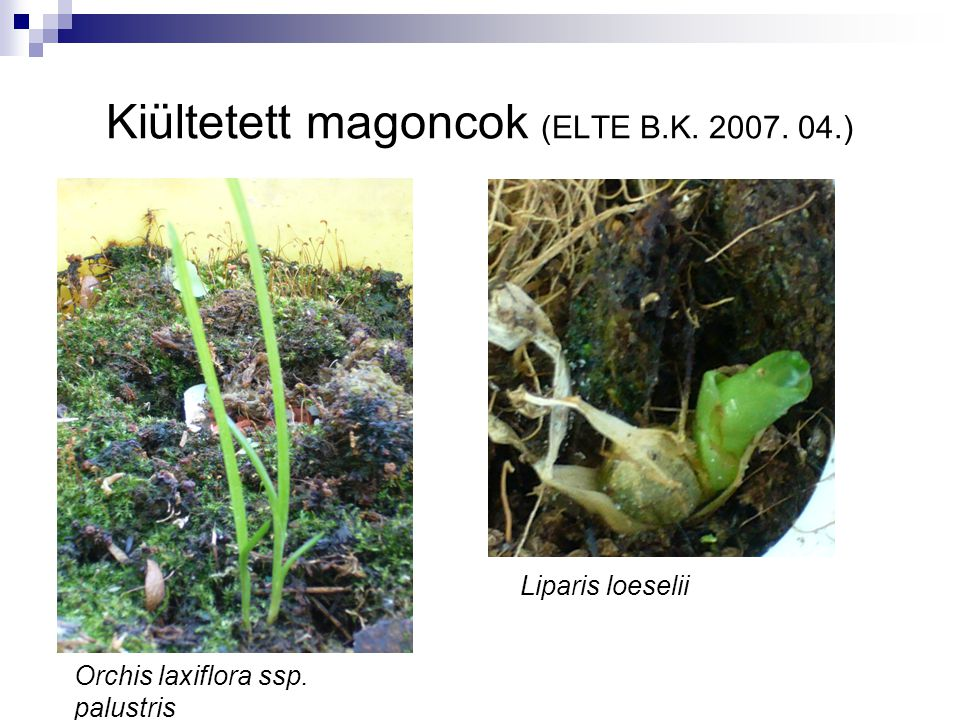 Kiültetett magoncok (ELTE B.K. 2007. 04.)