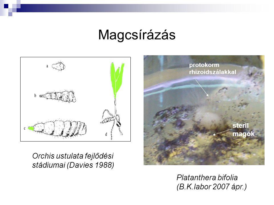 Magcsírázás Orchis ustulata fejlődési stádiumai (Davies 1988)