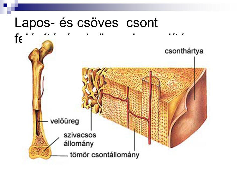 Lapos- és csöves csont felépítésének összehasonlítása