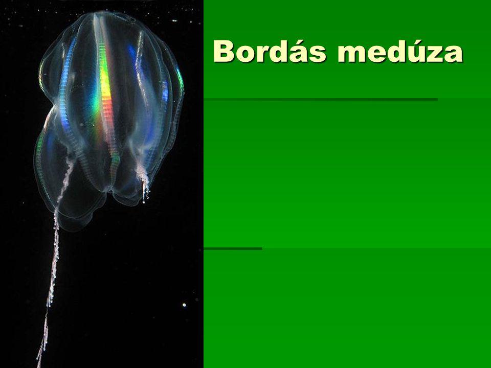 Bordás medúza
