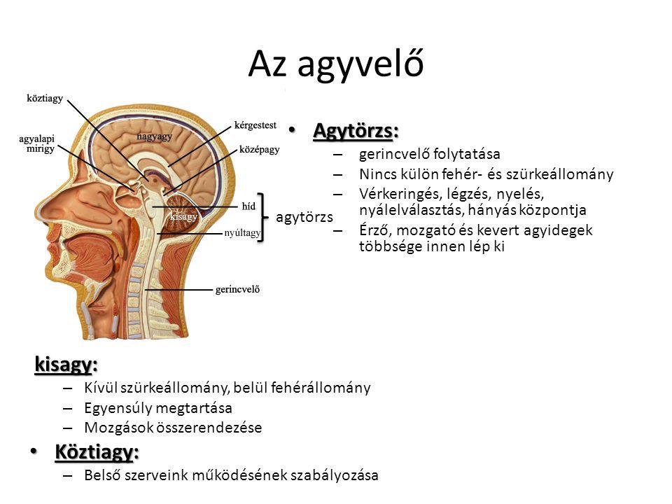 Az agyvelő Agytörzs: kisagy: Köztiagy: gerincvelő folytatása
