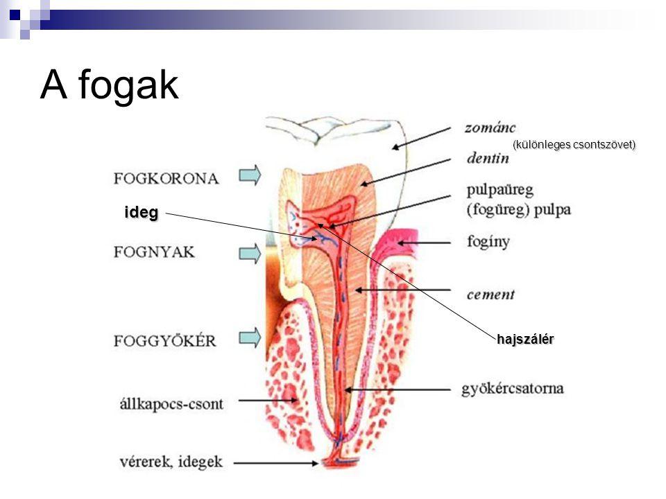 A fogak (különleges csontszövet) ideg hajszálér