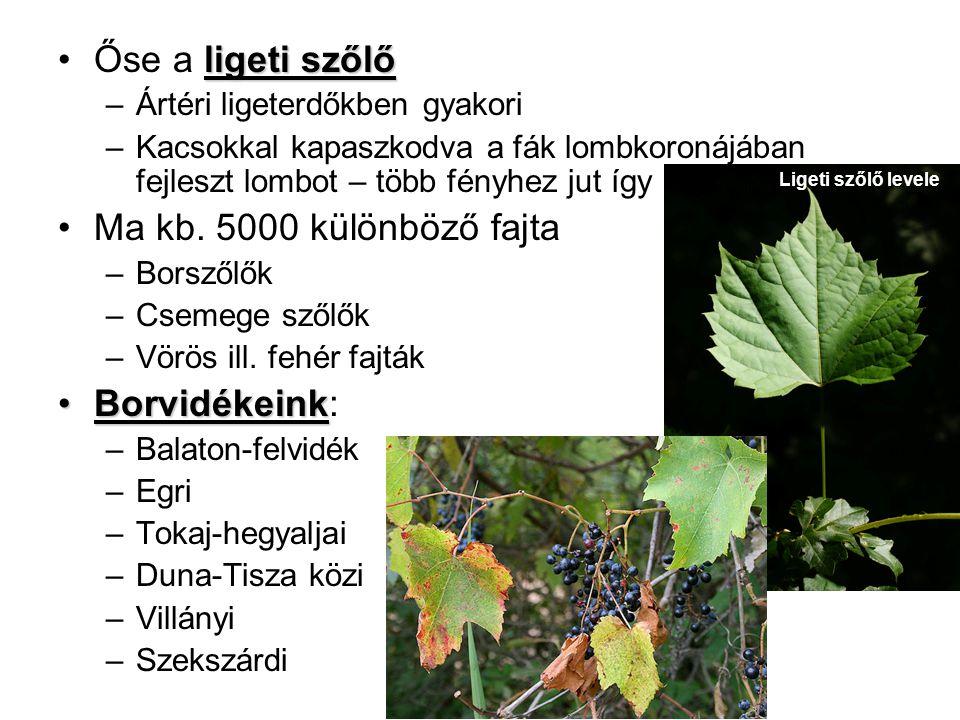 Őse a ligeti szőlő Ma kb. 5000 különböző fajta Borvidékeink: