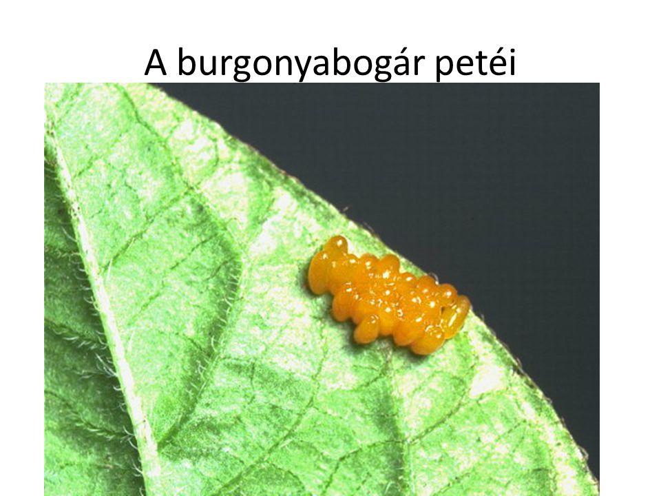 A burgonyabogár petéi