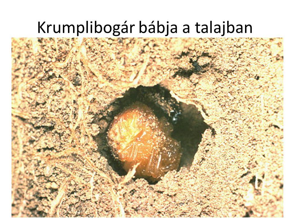Krumplibogár bábja a talajban