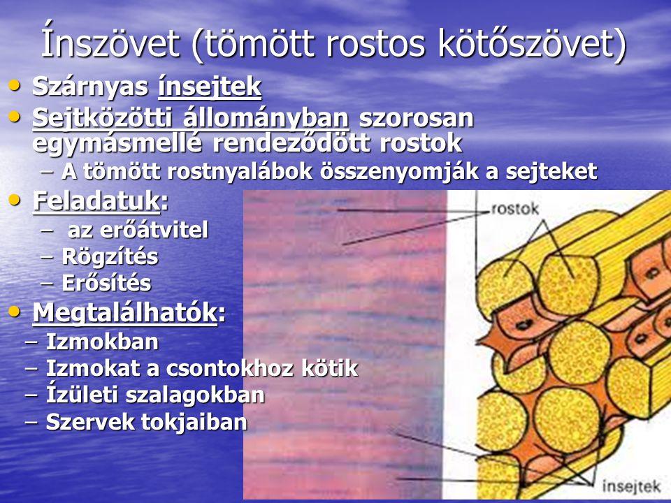 Ínszövet (tömött rostos kötőszövet)
