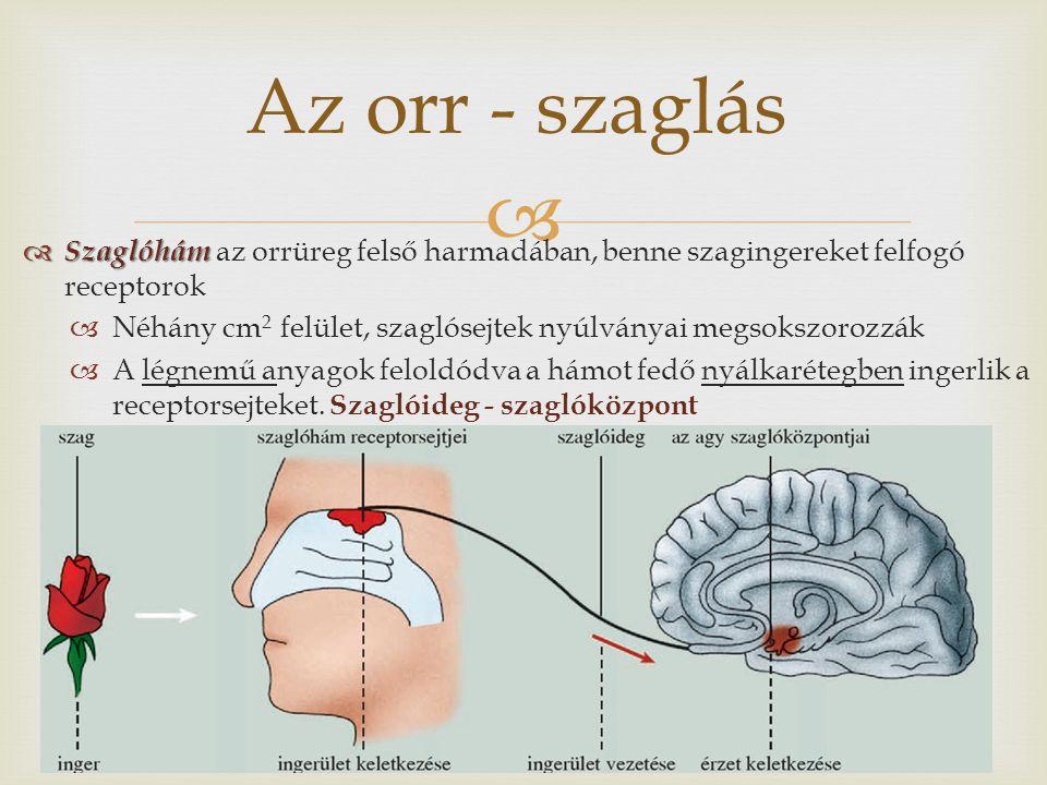 Az orr - szaglás Szaglóhám az orrüreg felső harmadában, benne szagingereket felfogó receptorok.