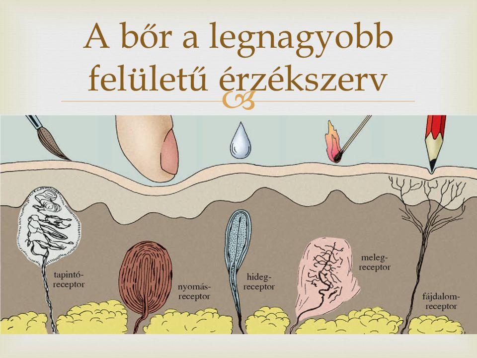 A bőr a legnagyobb felületű érzékszerv
