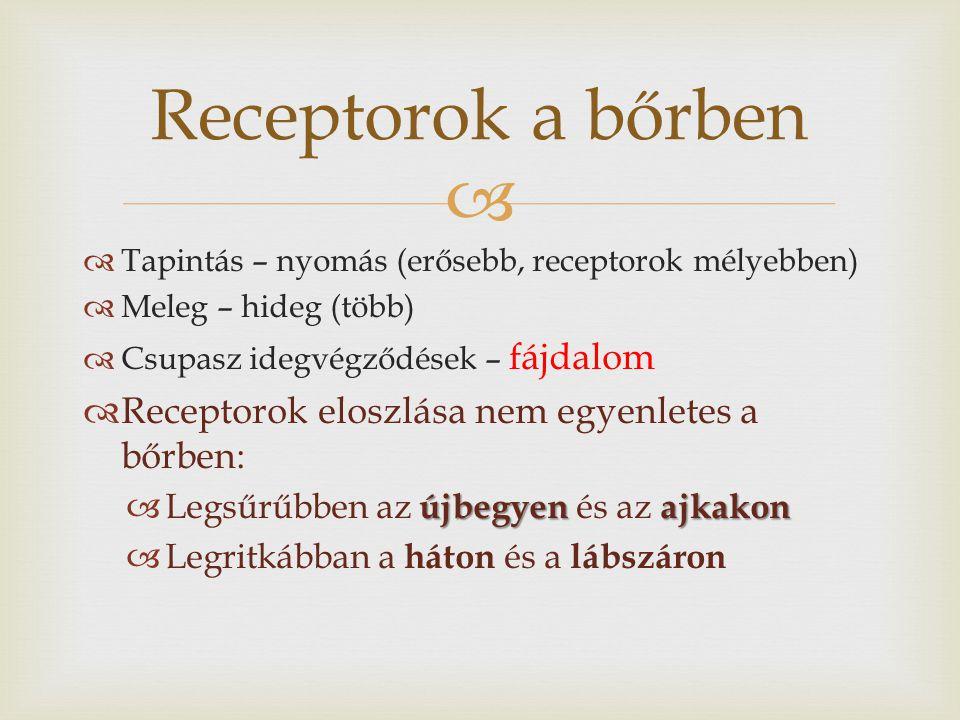Receptorok a bőrben Receptorok eloszlása nem egyenletes a bőrben:
