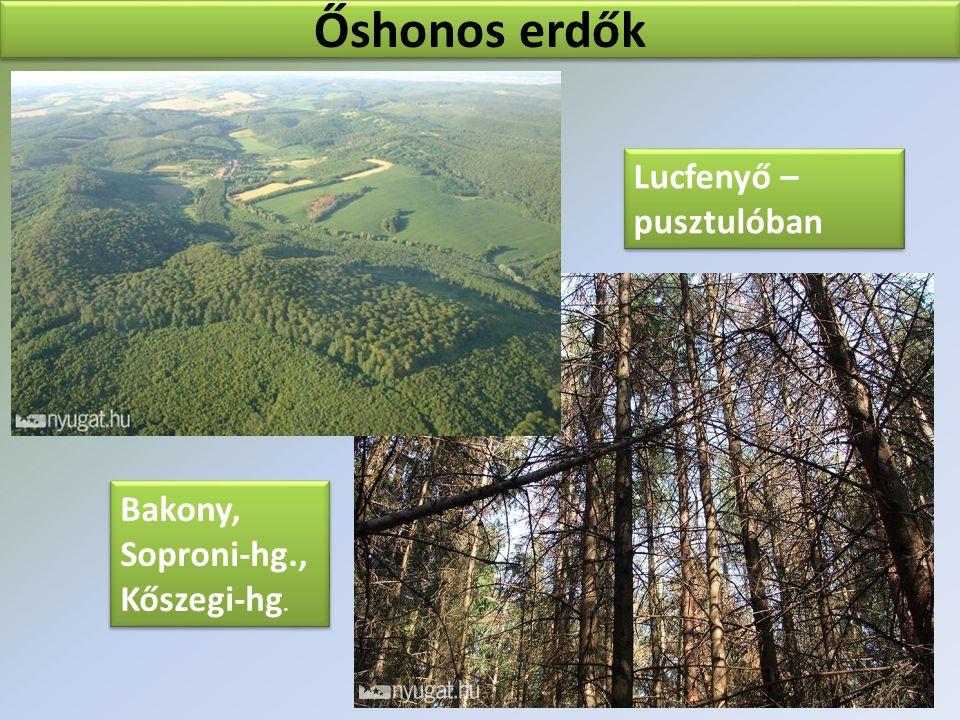 Őshonos erdők Lucfenyő – pusztulóban Bakony, Soproni-hg., Kőszegi-hg.