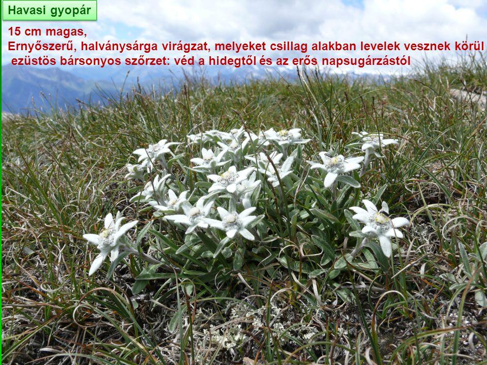 Havasi gyopár 15 cm magas, Ernyőszerű, halványsárga virágzat, melyeket csillag alakban levelek vesznek körül.