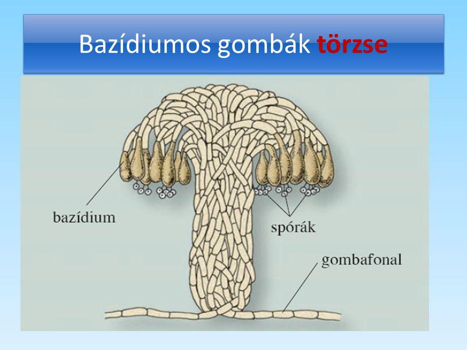 Bazídiumos gombák törzse