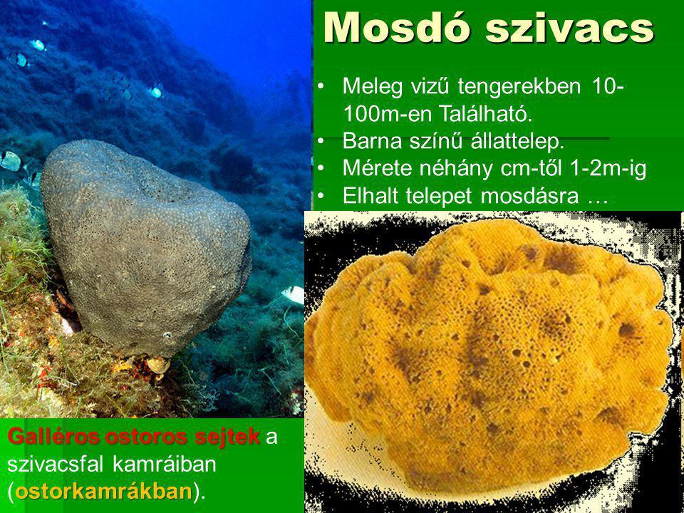 Mosdó szivacs Meleg vizű tengerekben 10-100m-en Található.
