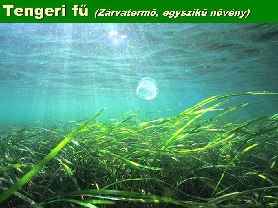 Tengeri fű (Zárvatermő, egyszikű növény)