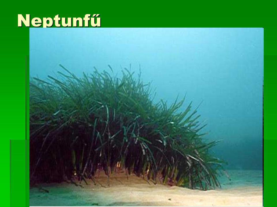Neptunfű