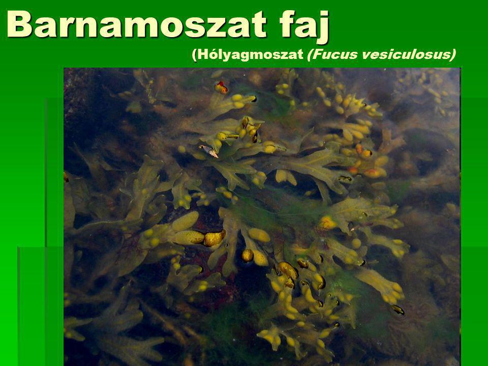Barnamoszat faj (Hólyagmoszat (Fucus vesiculosus)