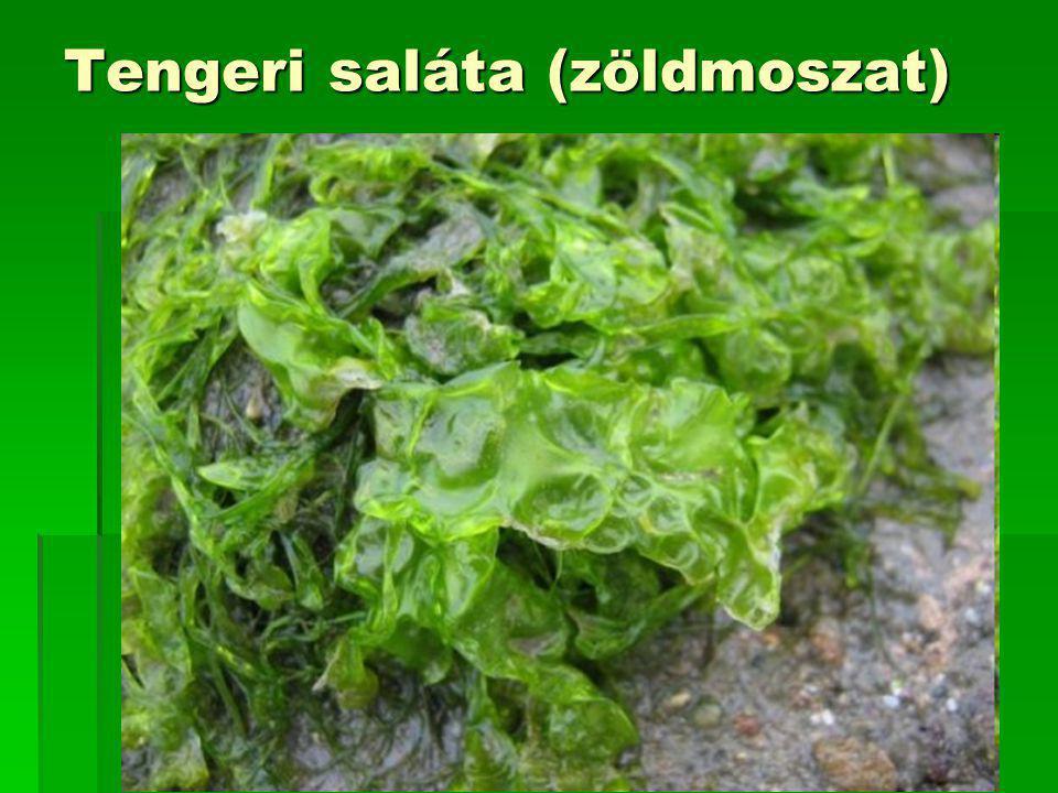Tengeri saláta (zöldmoszat)